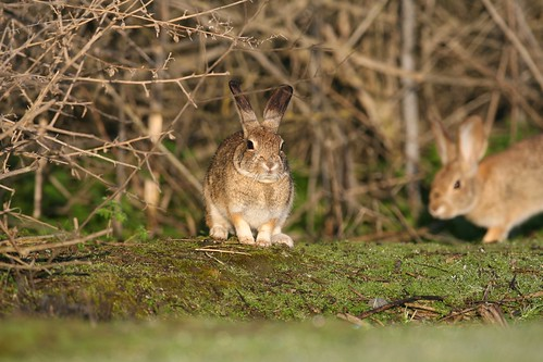 The riparian brush rabbit is state and federally endangered, with all known populations in the northern San Joaquin Valley facing significant threat of extinction. Declines of brush rabbits have largely been attributed to loss of habitat. Photo courtesy USFWS Pacific Southwest Region.