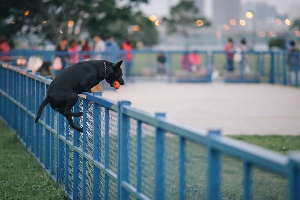正港台灣犬