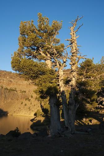 california tree pinetree pinus modoccounty whitebarkpine pattersonlake pinusalbicaulis pinales southwarnerrange