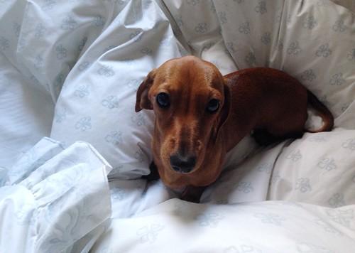 miniature sausage dogs