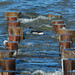 Brant Among the Pilings