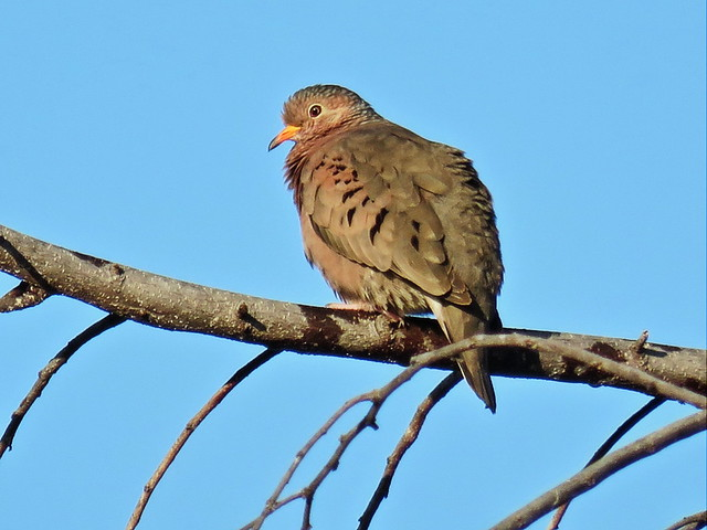 Ground Dove at 65 feet CROP Powershot 20141228
