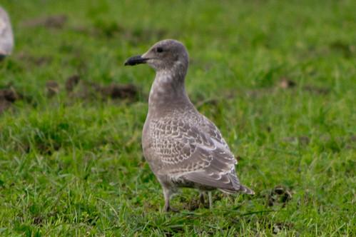 bird gull delnortecounty glaucouswingedgull larusglaucescens alaxandredairy