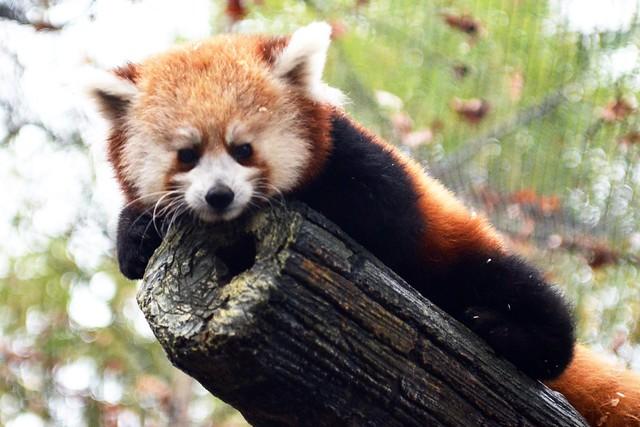 Red Panda Portrait