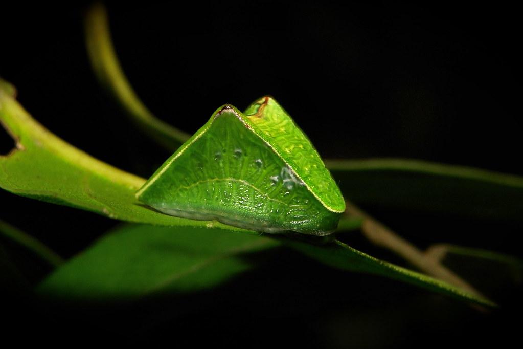 Limacodid Slug Caterpillar (Cup Moth, Demonarosa rufotessellata, Limacodidae)