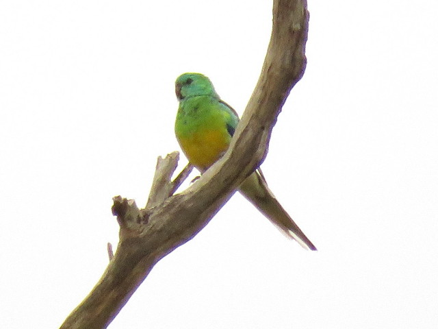 Red rumped Parrot Feb 2016