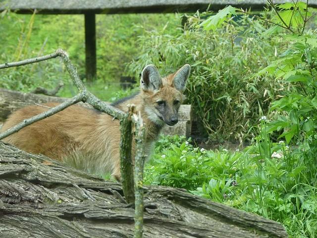 Mähnenwolfkind, Zoo Frankfurt