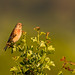 Male Linnet by www.craigrogers.photography