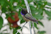 Black-chinned Hummingbird, male