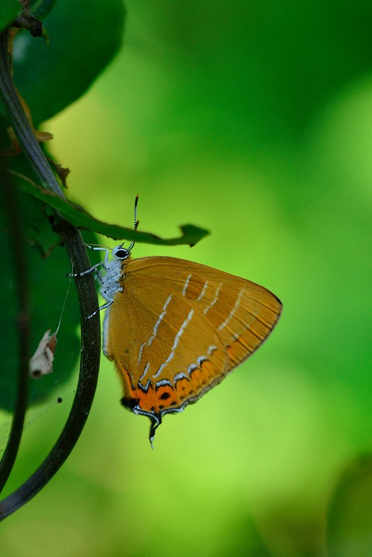 アカシジミ / Japonica lutea / The Orange Hairstreak