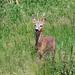 Roe Deer 2 (R. Davidson)