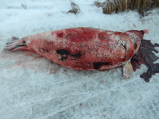 11-18-14 Seal with hair loss - Shishmaref, Alaska