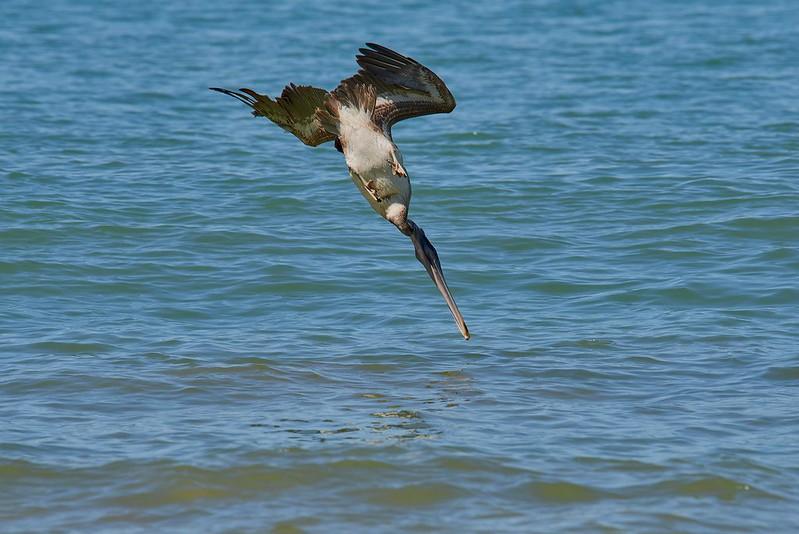 Brown Pelikan - Manuel Antonio National Park