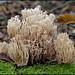 Artomyces pyxidatus by alfvet