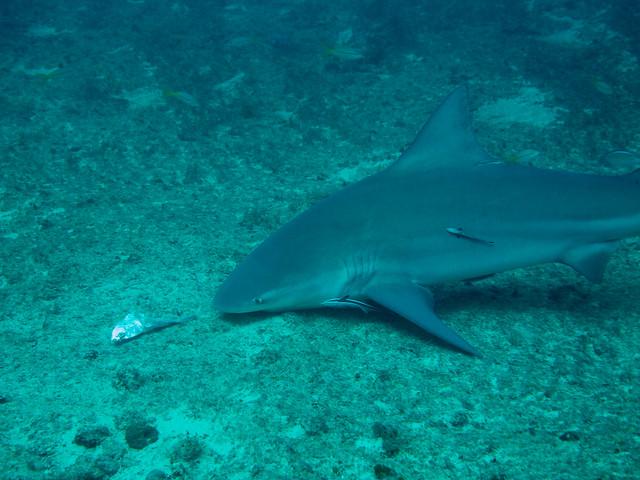 Bull Shark som snuser seg fram til en matbit, Santa Lucia, Cuba
