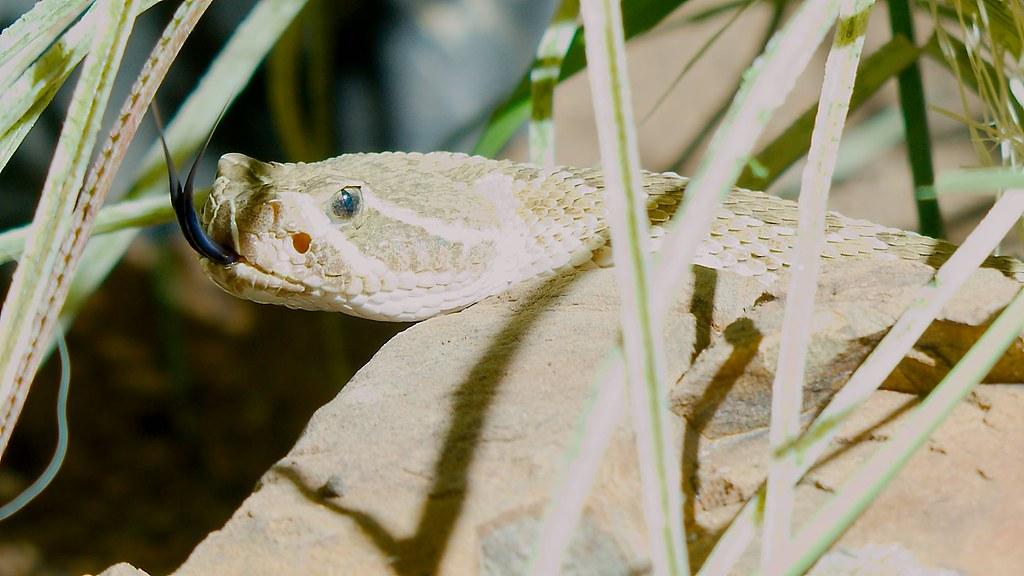 Prairie Rattlesnake (Crotalus viridis)_1