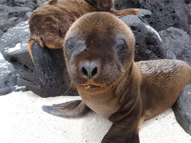 Cría de león marino en Galápagos