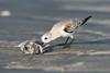 Sanderling (Caladris alba) feeding on a dead fish