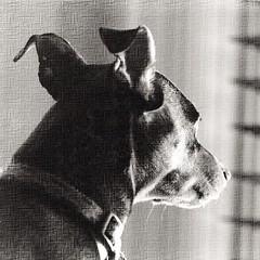 Rocky Boy! #dog #pets #minpin #nature #blackandwhite #blackandwhitephotography @eduardontavares #textured