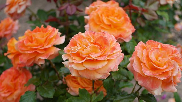 Photo:Rose, Flora, バラ, フローラ, By T.Kiya