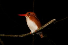 Madagascar pygmy kingfisher