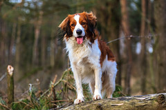 nova scotia duck tolling retriever(0.0), spaniel(0.0), dog breed(1.0), animal(1.0), kooikerhondje(1.0), dog(1.0), mammal(1.0), drentse patrijshond(1.0), brittany(1.0), cavalier king charles spaniel(1.0),