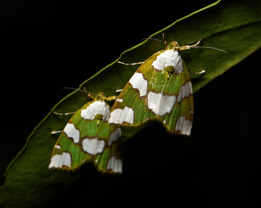 Nolid Moths (Chloephorinae, Nolidae)