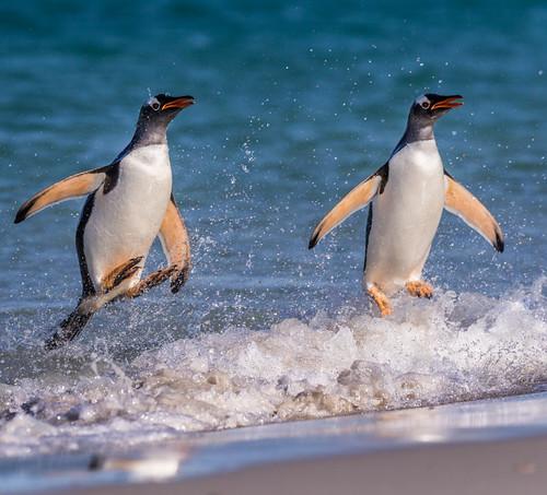Jumping Gentoos