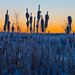 Sunrise Cattails by Darhawk