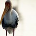 Painted Stork by siddhesh_p