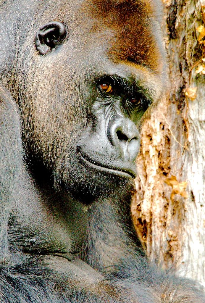 Gorilla (Gorilla gorilla)_9