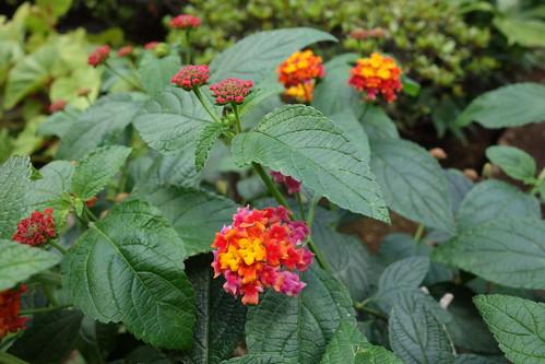 "lantana_5 ""ランタナ"" の花の写真。 緑色の葉。 黄色と橙色と赤色の花。"