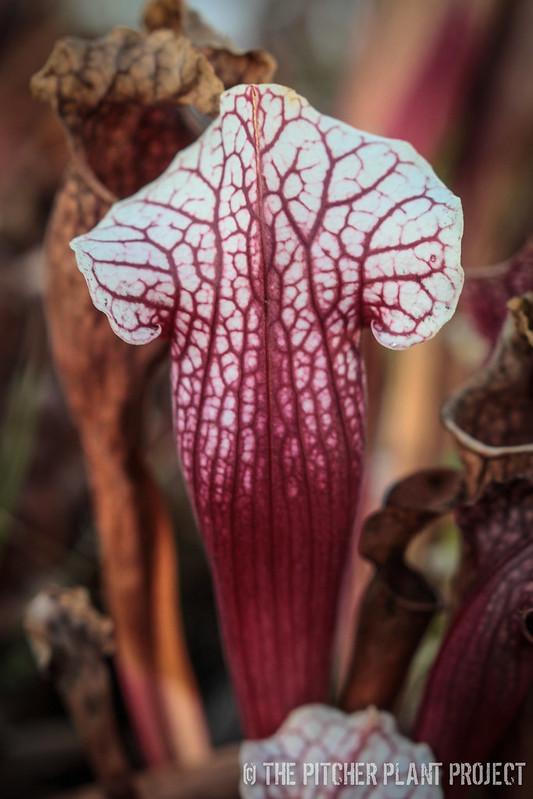 """Sarracenia leucophylla x """"Eva"""""""