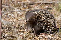 porcupine(0.0), echidna(1.0), animal(1.0), domesticated hedgehog(1.0), rodent(1.0), monotreme(1.0), erinaceidae(1.0), fauna(1.0), wildlife(1.0),