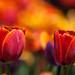 Tulipes de feu by Joanne Levesque