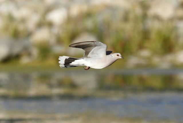 European Turtle Dove
