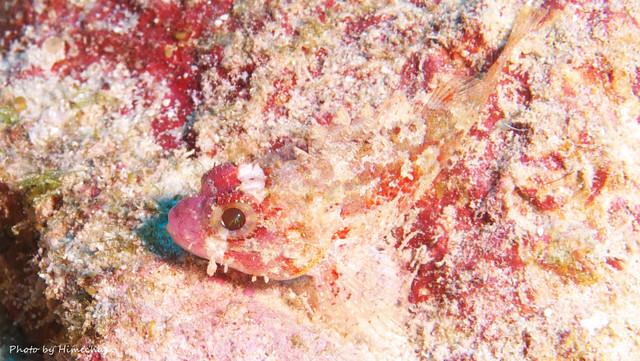 ヒメサンゴカサゴ幼魚