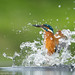 Diving Kingfisher by Alastair Marsh Photography