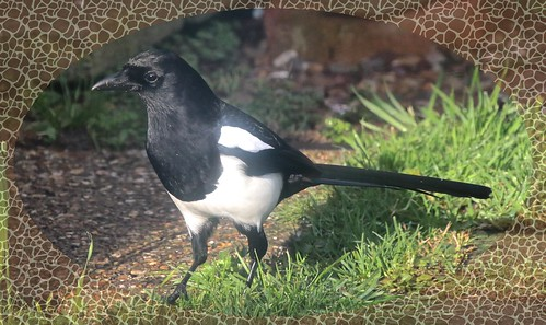Magpie IMG_1892