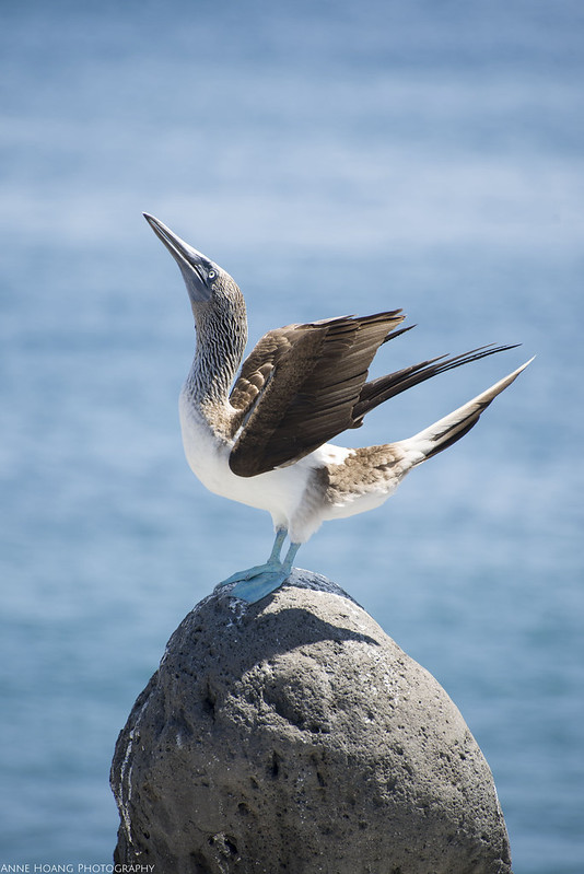 blue footed booby, mating call