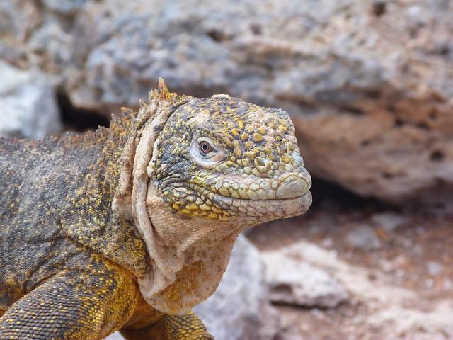 Iguana terrestre de islas Galápagos