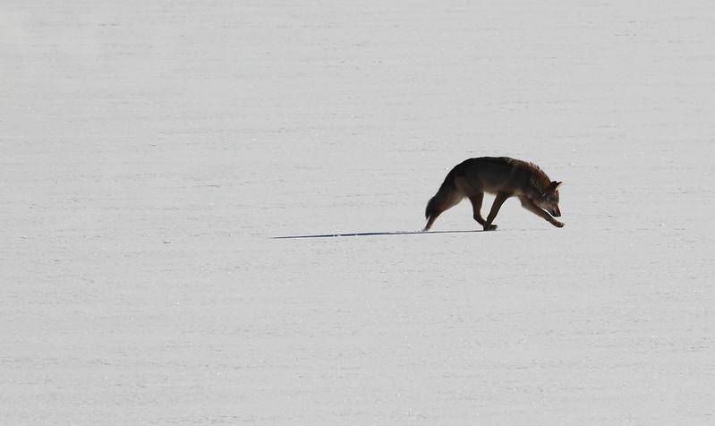 wolf on lake2