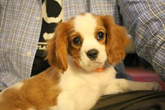 cavapoo(0.0), dog breed(1.0), animal(1.0), kooikerhondje(1.0), puppy(1.0), dog(1.0), cavachon(1.0), welsh springer spaniel(1.0), pet(1.0), king charles spaniel(1.0), phalã¨ne(1.0), spaniel(1.0), cavalier king charles spaniel(1.0), carnivoran(1.0),