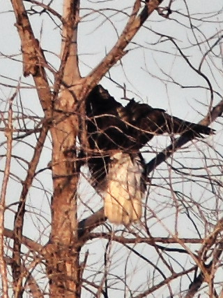 Bald Eagles in tree FEMALE 02-20141210