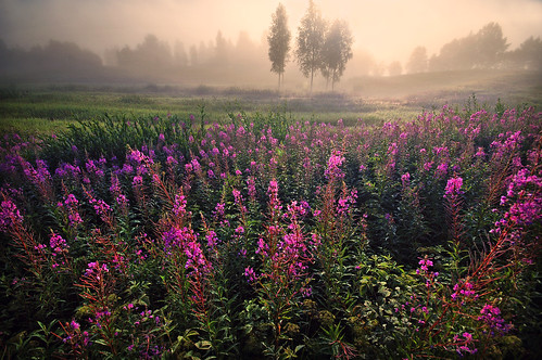 morning summer finland meadow willowherb kouvola jaala