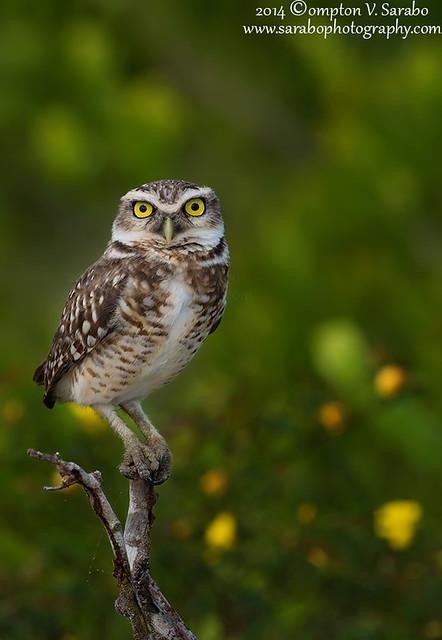Burrowing Owl (Athene Cunicularia) in Kuru Kururu