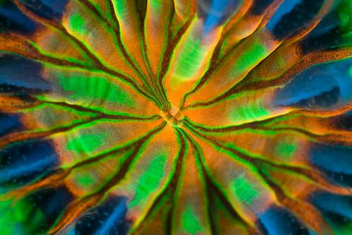 colpophyllia-natans-juvenile-polyp-wide-groove-brain-coral-_press