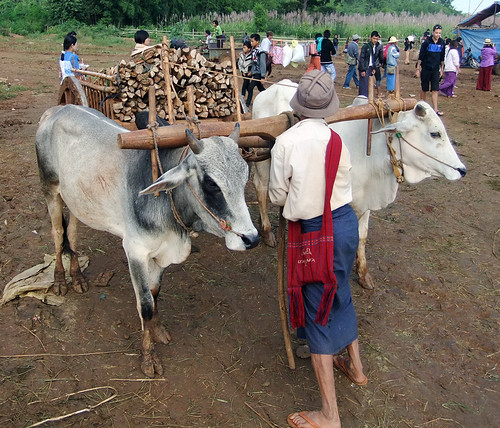 Oxen and Cart at the Market at the End of Inle Lake, Myanmar