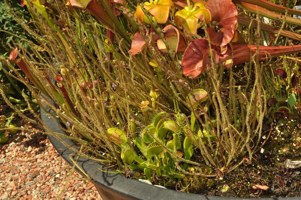 VFTs, sundews & Sarracenia flava in the garden