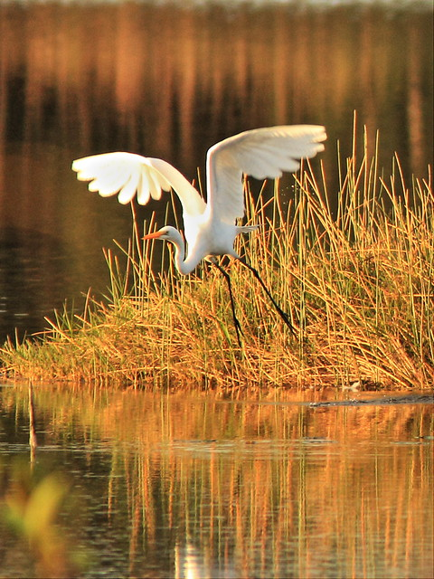 Great Egret liftoff 20150105
